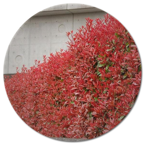 Photinia red robin (Woodview Nurseries)